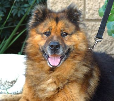 German-Chow-German-Shepherd-and-Chow-Chow