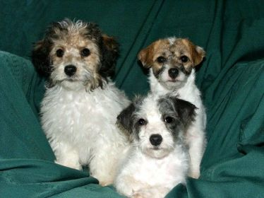 Jack-A-Poo-Jack-Russell-Terrier-Miniature-Poodle