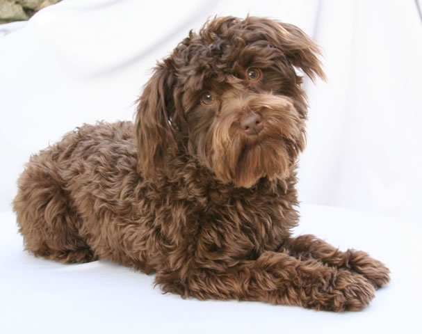 Schnoodle-Schnauzer-and-Poodle
